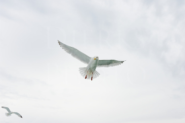 White bird in flight drifting still in the air, Jonathan Livingston Seagull against the clouds.