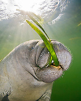 Florida Manatee (Trichechus manatus latirostris) calf feeding on Seagrass, Crystal River National Wildlife Refuge, Florida, USA