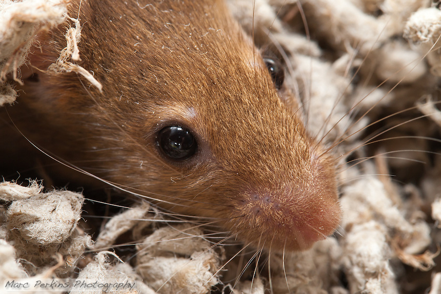 Closeup of the top half of the face of an orange female mouse.  It's close enough that you can even see her eyelashes! The top of her nose, her eyes, the base of her ear, and her whiskers are all in the frame; her whisker attachments, and the gradation in coloring on some of her whiskers, are clearly visible.