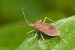 Brown Shield Bug, Coreus marginatus, on leaf in garden, squash bug, UK, dock bug