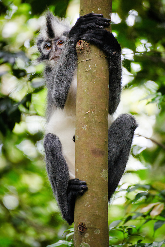 A Thomas Leaf Monkey (Presbytis thomasi) climbs a tree in Gunung Leuser National Park