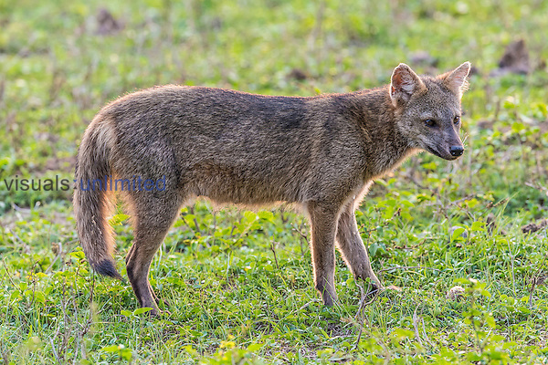 Crab-eating Fox (Cerdocyon thous), Pantanal, Mato Grosso, Brazil.