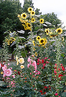 Helianthus Valentine sunflowers branching annual lemon yellow blooms, with Alcea rosea Hollyhocks Carnival mix with yellow, pink, red, mixed annual flowers