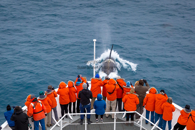 Watching Type A Killer Whales in the Southern Ocean from the National Geographic Explorer, a ship in the Southern Ocean, Antarctica