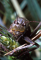 Mormon Cricket feeding on wheat head. ORTHOPTERA Teffigoniidae Anabrus simplex. North of Vernal, Utah.  Vernal Utah USA Uintah Basin.