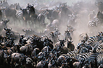 Plains Zebra and Common Wildebeest herds, Masai Mara National Reserve, Kenya