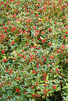 Skimmia japonica in berry