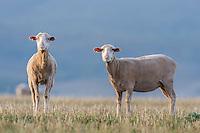 Recently sheared Merino Sheep, Bredasdorp, Overberg, Western Cape, South Africa,