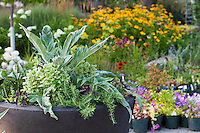 An edible and ornamental container garden with Cardoon, rosemary, variegated Pesto Perpetuo basil plants and purple sweet potato vine