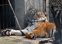 """Tiger number """"100"""" that has a paralysed neck in a cage at the Xiongsen Tiger and Bear Park in Guilin China. The park has farmed 1500 tigers and sells an illegal tiger bone wine to tourists that visit the park."""