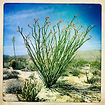 Ocotillo in full bloom in the Anza-Borrego Desert, San Diego, California, USA.