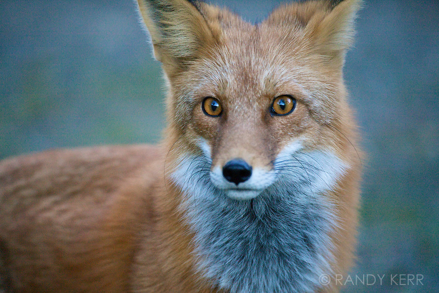 red fox face and - photo #15