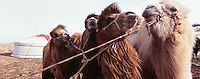 "Bactrian camels on the shooting of ""Serko"", a film reenacting the longest horse-ride ever done in the history of man, : 9000 Km in 200 days from the Amur River to St Petersburg, by a Cossack named Dimitri Petchkov and his horse Serko  in the winter of 1890. Siberia, Irkutsk District, Lake Baikal region, March 2005. Director: Joel Farges. Adaptation from the book by Jean-Louis Gouraud: Serko."