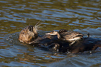 Sea Otter (Enhydra lutris) playing with grebe--let it go after about five minutes of playing with it.  I believe this is an Eared Grebe in winter plumage.  Monterey Bay, CA.