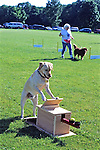 Yellow Lab Working With Ball Skill Test