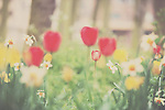 A red tulip can be seen amongst a blur of yellow and white and red flowers in an english garden