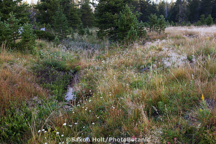 California native plant meadow at headwaters creek of South Fork American River