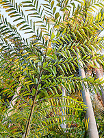 Thai Mountain Giant Fishtail Palm, Caryota obtusa (aka. C. gigas)  tree leaf tapestry at entry to Worth Garden, California, looking up vantage point