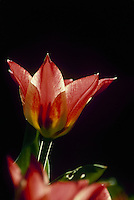 Pink tulip, Liliaceae,  with sunlight backlighting the petals