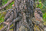 Northern Hawk Owl, Great Slave Lake, Northwest Territories, Canada
