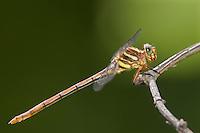 341700004 a wild female broad-striped forceptail dragonfly aphylla angustifolia in breckenridge park san antonio texas