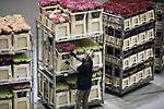 Foto: VidiPhoto<br /> <br /> EDE - Topdrukte op de bloemenveiling Plantion in Ede woensdag. Vooral rozen vonden gretig aftrek bij de bloemisten in de aanloop naar Valentijnsdag volgende week dinsdag. Zo'n 25 procent van de handel bestond woensdag dan ook de diverse soorten rozen, oftewel 2,4 miljoen stelen. Verder waren ook tulpen en gerbera's in trek. Hoewel de meeste rozen uit Afrika worden aangevoerd, blijft de Nederlandse roos volgens algemeen-directeur Peter Bakker van Pantion de echte topper. Plantion bestaat dit jaar honderd jaar.