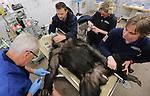 Foto: VidiPhoto<br /> <br /> ARNHEM - De leider van de chimpanseegroep in Burgers' Zoo in Arnhem, Giambo, kan zich niet meer voortplanten. Het dier is dinsdag gesteriliseerd omdat hij niet helemaal raszuiver is. Uit dna-onderzoek blijkt dat Giambo niet 100 procent behoort tot de West-Afrikaanse ondersoort waarmee de Europese dierentuinen willen gaan fokken. E&eacute;n van zijn overgrootvaders blijkt geen zuivere West-Afrikaan te zijn. Mensapendeskundige Tom de Jongh van Burgers' Zoo en zijn Deense collega hebben in tien jaar tuin de ondersoorten van de ruim 750 chimpansees in alle dierentuinen in kaart gebracht. Omdat de West-Afrikaanse ondersoort het meest aanwezig is, is besloten daarmee te gaan fokken. Giambo valt daarbij buiten de boot. Omdat hij niet gecastreerd maar gesteriliseerd wordt, vindt er geen hormonale verandering plaats en komt zijn positie als leider van de groep niet in gevaar.