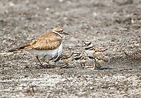 Killdeer with four chicks, one chick is hiding under adult