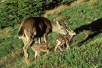 Black-tailed Deer doe with young fawns.  Pacific Northwest.  June.