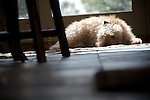 Fozzie the labradoodle lying in the morning sunlight in the garden room