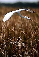 Everglades, Fla. -- Feb. 18, 2007 -- A white heron takes flight over the grasses near Big Cypress Bend just north of Everglades National Park on the southern tip of Florida on Sunday, Feb. 18, 2007. (Chip Litherland for The New York Times)