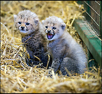Rare cheetah cubs born at Longleat.
