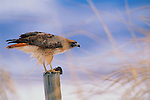 By swooping into a thick maze of cattails lining the shore of Grays Lake, Idaho, a red-tailed hawk captures a meadow vole, a prized catch for his mate and growing chicks back at the nest.