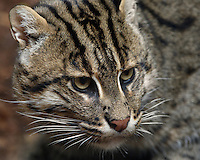 The Fishing Cat (Prionailurus viverrinus) is a medium-sized cat. Like its closest relative, the Leopard Cat, the Fishing Cat lives along rivers, streams and mangrove swamps. It is well adapted to this habitat, being an eager and skilled swimmer.