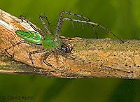 "0515-07pp  Green Lynx Spider  Consuming Fly - Peucetia viridans  ""Eastern Variation"" - © David Kuhn/Dwight Kuhn Photography"