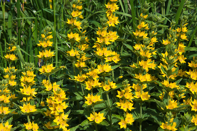 Garden loosestrife (Lysimachia punctata), late May.