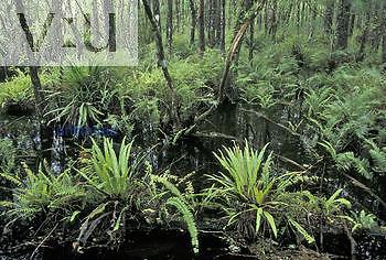 Cypress swamp habitat, Florida, USA.