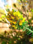 Heath phyllota-Phylotta phylicoides