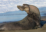 Northern Elephant Seal (Mirounga angustirostris).  Piedras Blancas State Marine Reserve. Near Cambria, San Luis Obispo Co., Calif.