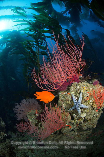 RF40125-D. colorful rocky reef in forest of Giant Kelp (Macrocystis pyrifera) with Red Gorgonians (Lophogorgia chilensis), orange Garibaldi (Hypsypops rubicundus) fish, and Knobby Sea Star (Pisaster giganteus). California, USA, Pacific Ocean.<br /> Photo Copyright &copy; Brandon Cole. All rights reserved worldwide.  www.brandoncole.com