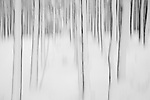 Abstract of winter pine forest, Inshriach, Scotland.