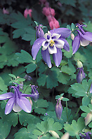 Aquilegia in an English garden with Bleeding Heart in background