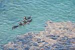 Bartolome Island, Galapagos, Ecuador; Galápagos Penguins (Spheniscus mendiculus) swim in the water of a lagoon just off Bartolome Island , Copyright © Matthew Meier, matthewmeierphoto.com All Rights Reserved