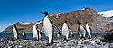 King Penguins (Aptenodytes patagonicus) emerging from the sea at breeding colony. Gold Harbour, South Georgia, South Atlantic. (digitally stitched image)