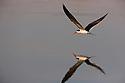 Botswana, Moremi Game Reserve, Okavango Delta, African skimmer (Rynchops flavirostris) flying low above water