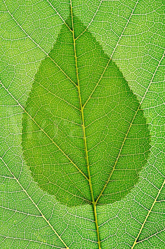 Single green leaf transposed against a full size leaf