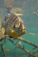 Bluegill Sunfish with Black Spot Parasite<br /> <br /> ENGBRETSON UNDERWATER PHOTO
