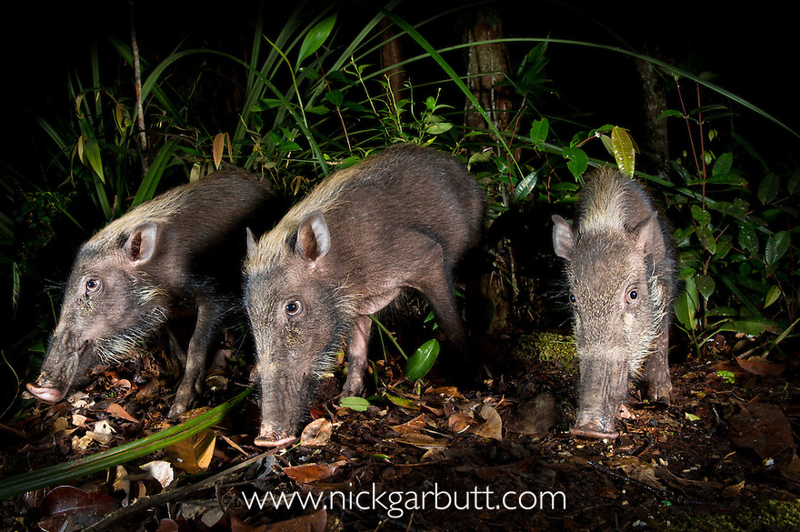 Bearded Pig (Sus barbatus) foraging on the forest floor. Near Nepenthes Field Camp, mid-altitude montane forest. Centre of Maliau Basin - Sabah's 'Lost World' - Borneo.