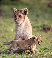 A fiesty tiny little cub plays at the feet of a slightly older member of the pride as the two cubs wait for the return of the lionesses from hunting, Mara, Kenya, Africa (photo by Wildlife Photographer Matt Considine)