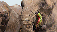 Circus elephant of the Caselly Family eats a watermelon on a beach of lake Balaton in promotion of the Circus Night event at Balatonlelle (about 140 km South-West of capital city Budapest), Hungary on July 18, 2015. ATTILA VOLGYI